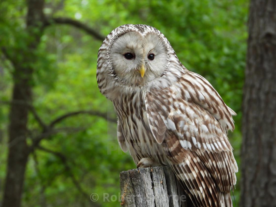 """""""Birds of Prey Series - Ural Owl I"""" stock image"""