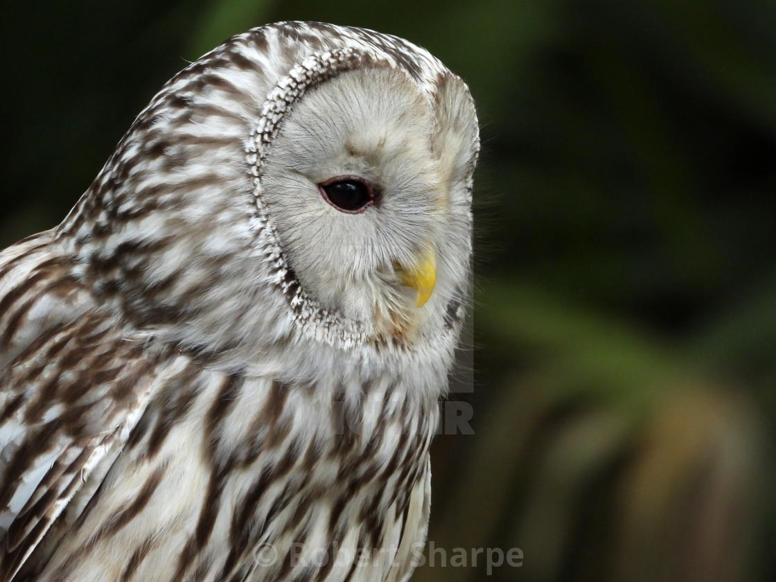 """""""Birds of Prey Series - Ural Owl II"""" stock image"""