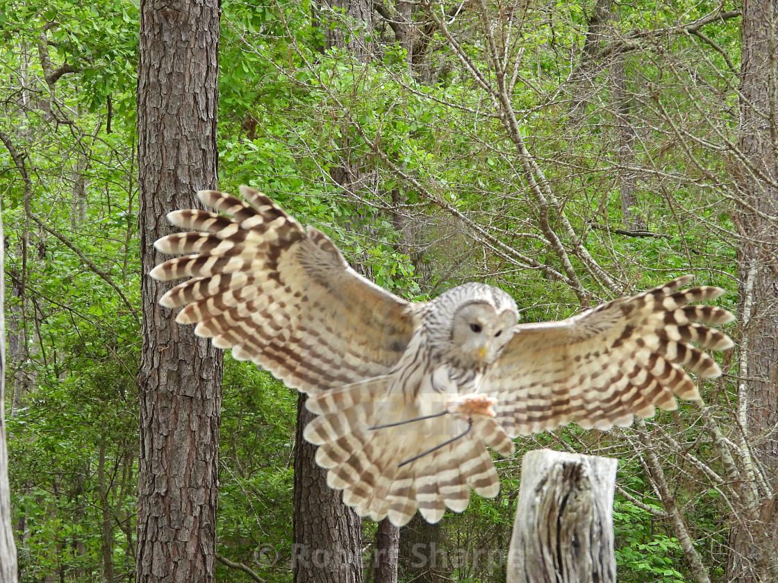 """Birds of Prey Series - Ural Owl VII"" stock image"
