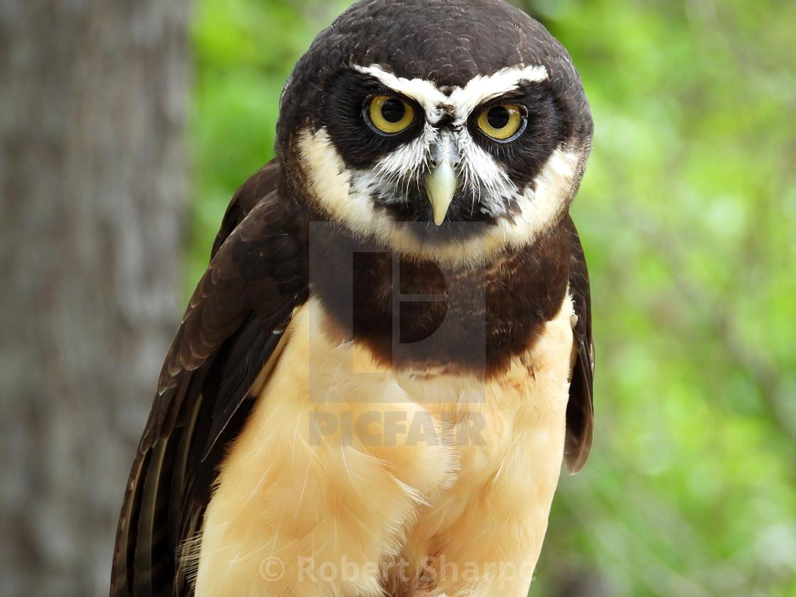 """""""Birds of Prey Series - Speckled Owl III"""" stock image"""