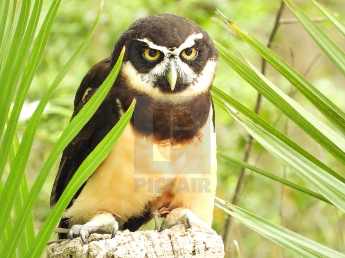 """""""Birds of Prey - Speckled Owl VI"""" stock image"""
