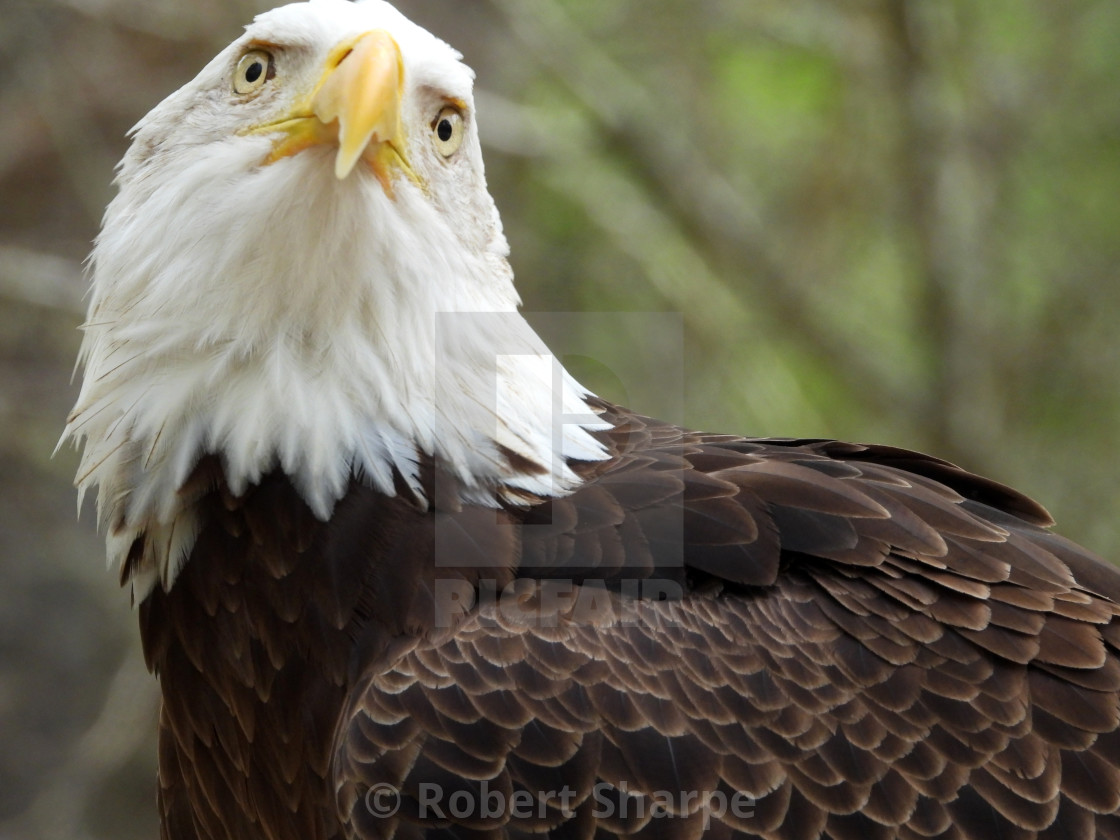 """Birds of Prey Series - Bald Eagle II"" stock image"