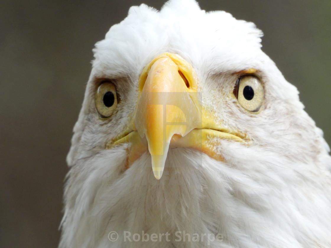 """Birds of Prey Series - Bald Eagle V"" stock image"