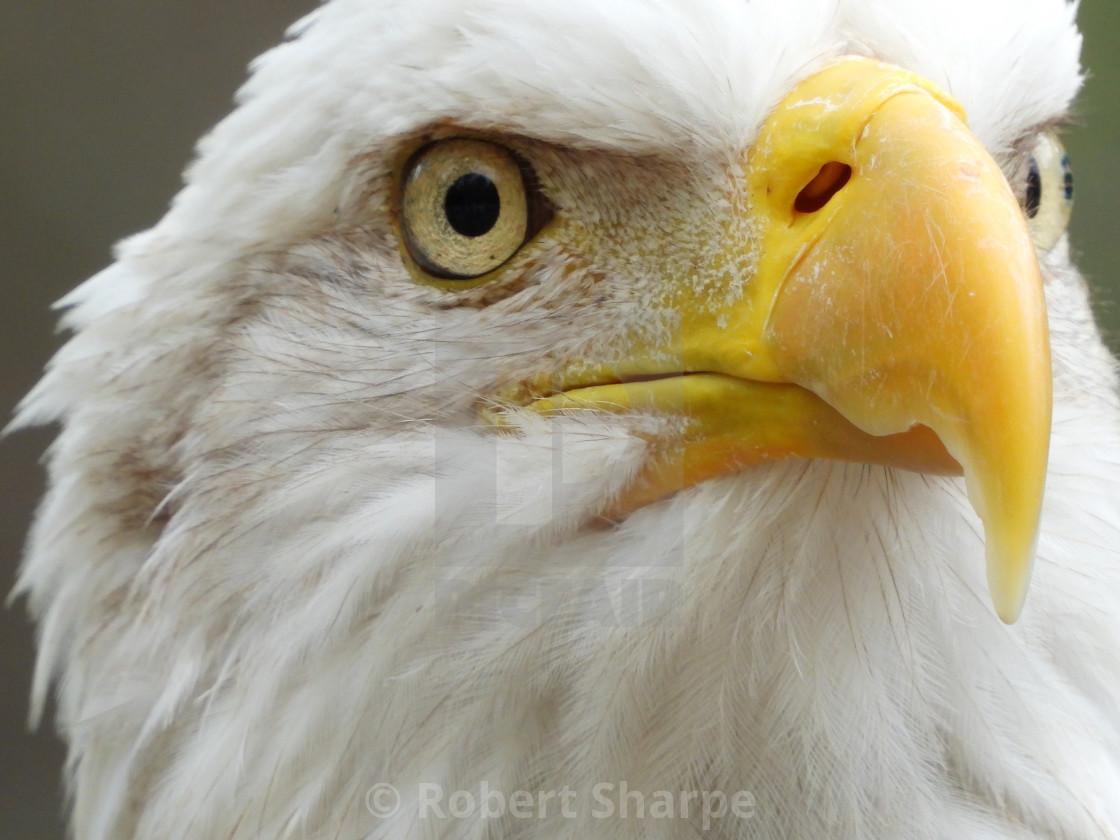 """Birds of Prey Series - Bald Eagle VI"" stock image"