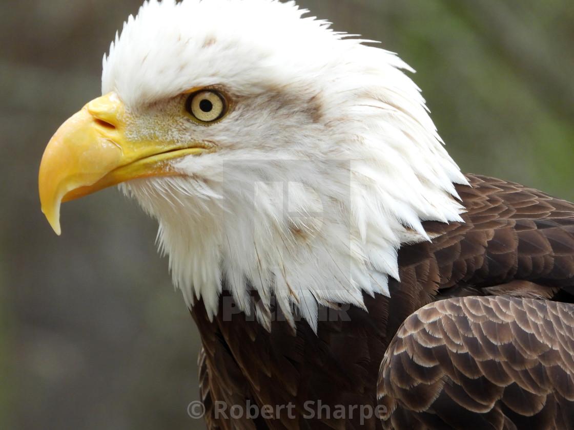 """Birds of Prey Series - Bald Eagle VII"" stock image"