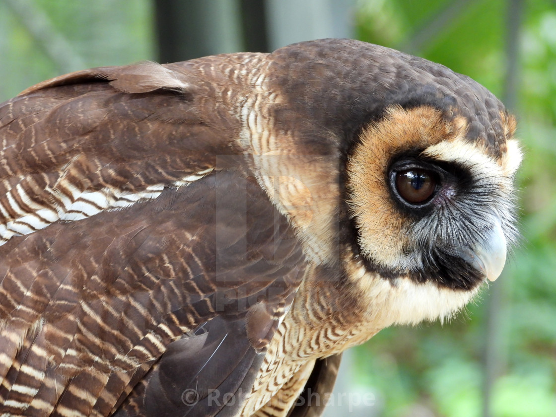 """Birds of Prey Series – Brown Wood Owl III"" stock image"