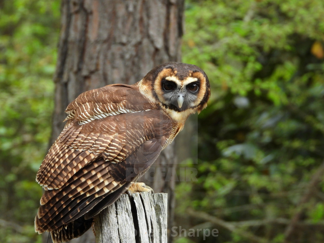 """Birds of Prey Series – Brown Wood Owl IV"" stock image"