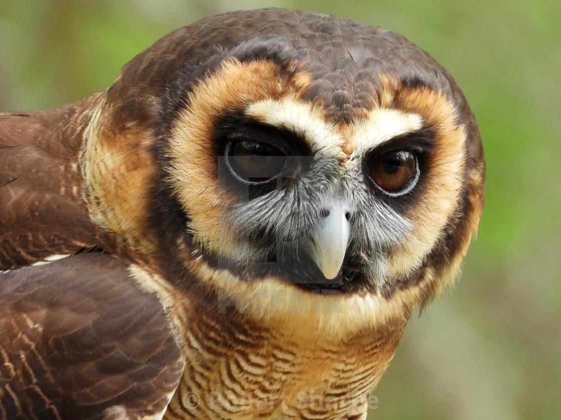 """Birds of Prey Series – Brown Wood Owl V"" stock image"