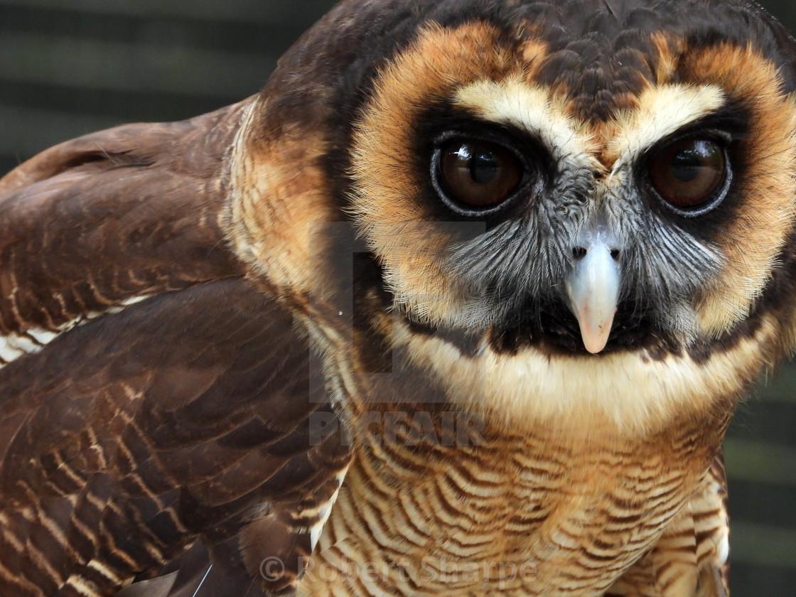 """""""Birds of Prey Series – Brown Wood Owl VII"""" stock image"""