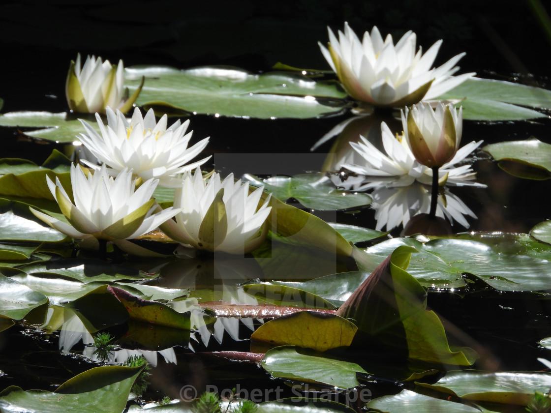 """White Waterlilies - Image 2"" stock image"