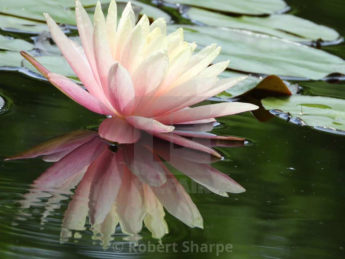 """""""Pink Waterlily Reflected in Shimmering Pond"""" stock image"""