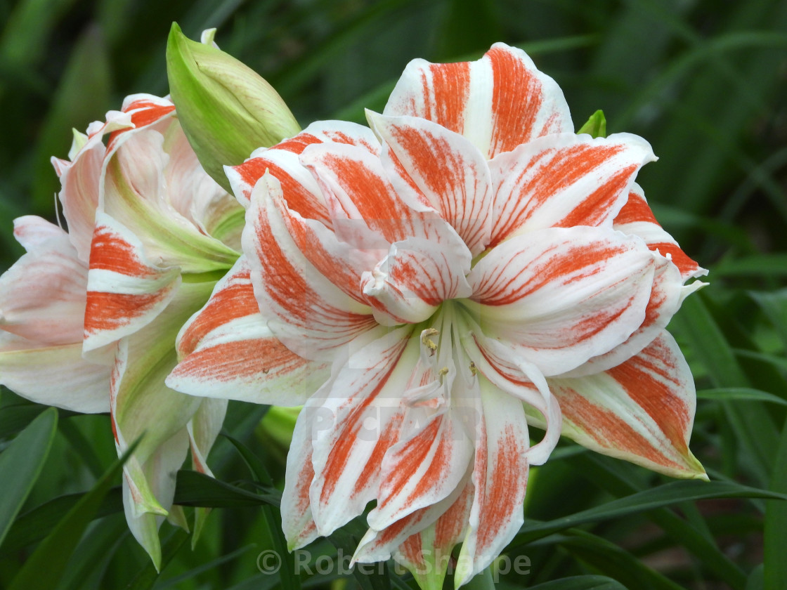 """Red and White Striped Amaryllis I"" stock image"