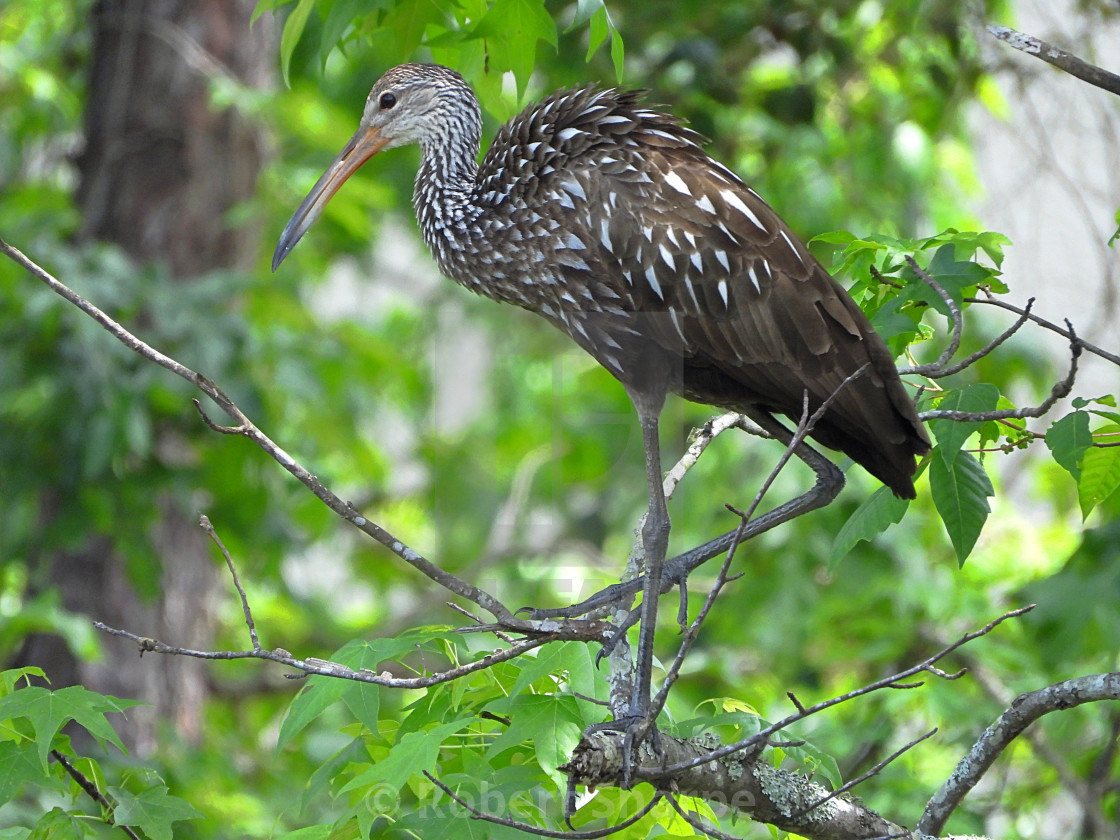 """""""Limpkin in a Tree"""" stock image"""