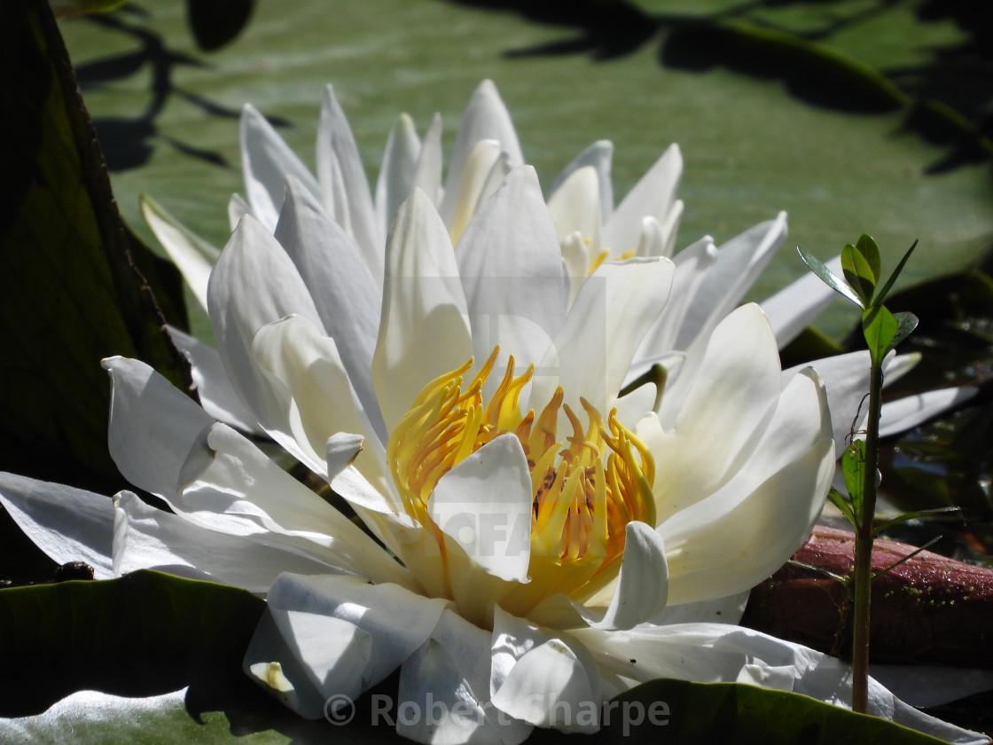 """White Waterlilies - Image 17"" stock image"