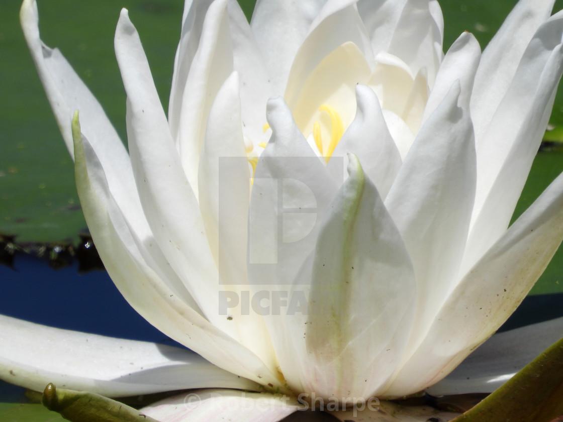 """White Waterlilies - Image 30"" stock image"