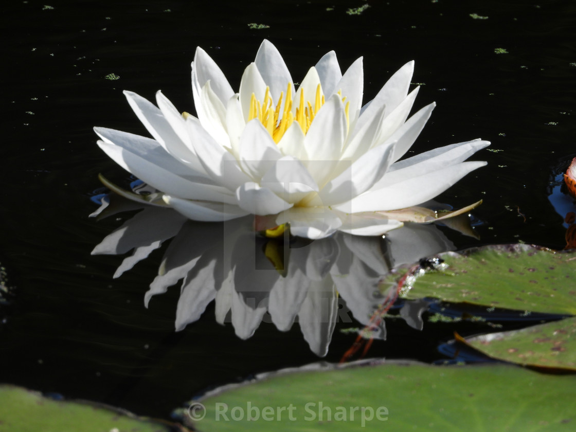 """White Waterlilies - Image 32"" stock image"