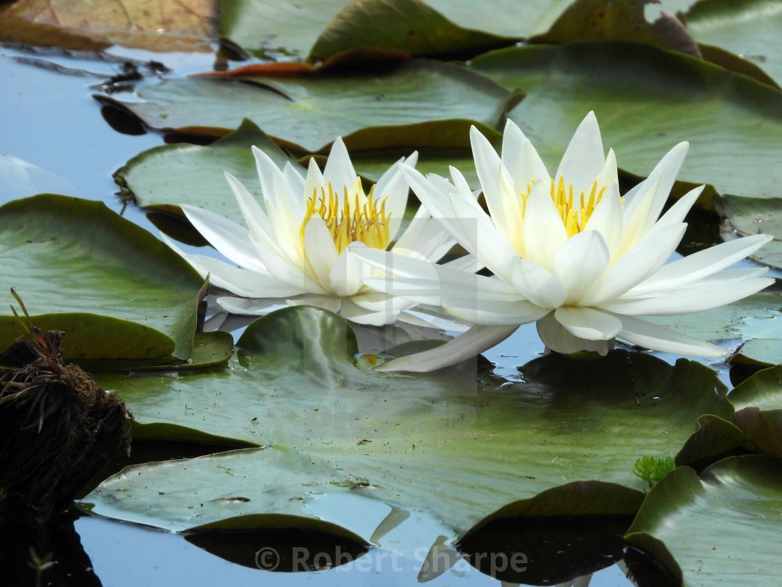 """White Waterlilies - Image 43"" stock image"
