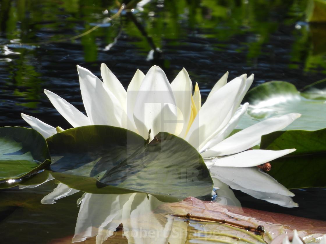 """White Waterlilies - Image 45"" stock image"
