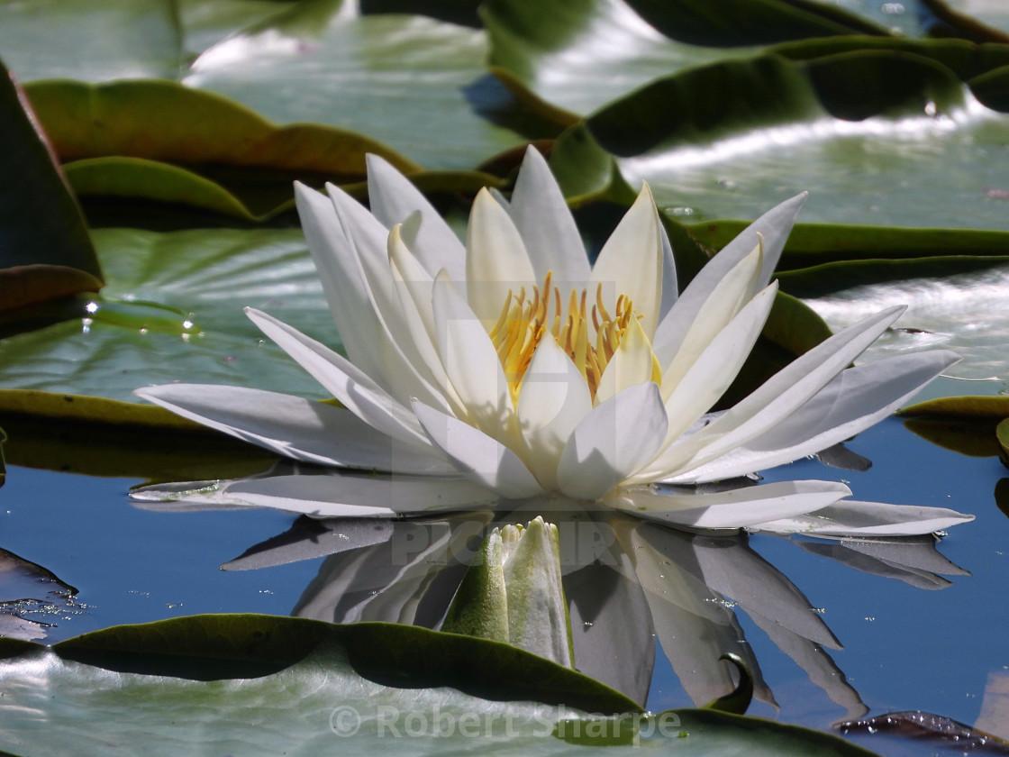 """White Waterlilies - Image 46"" stock image"