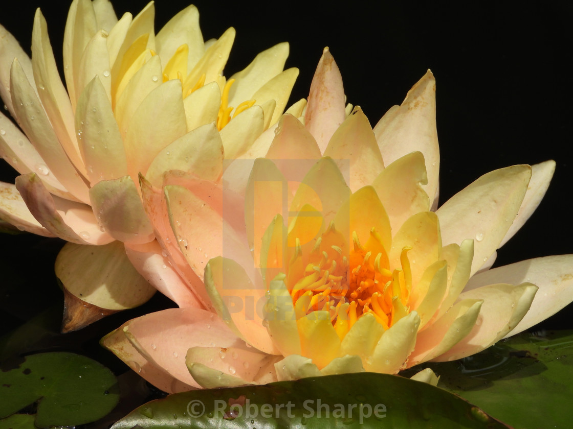 Double Cream-Colored Waterlilies