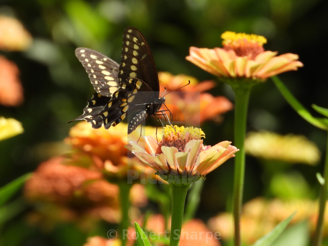 """""""Swallowtail Butterfly - among flowers"""" stock image"""