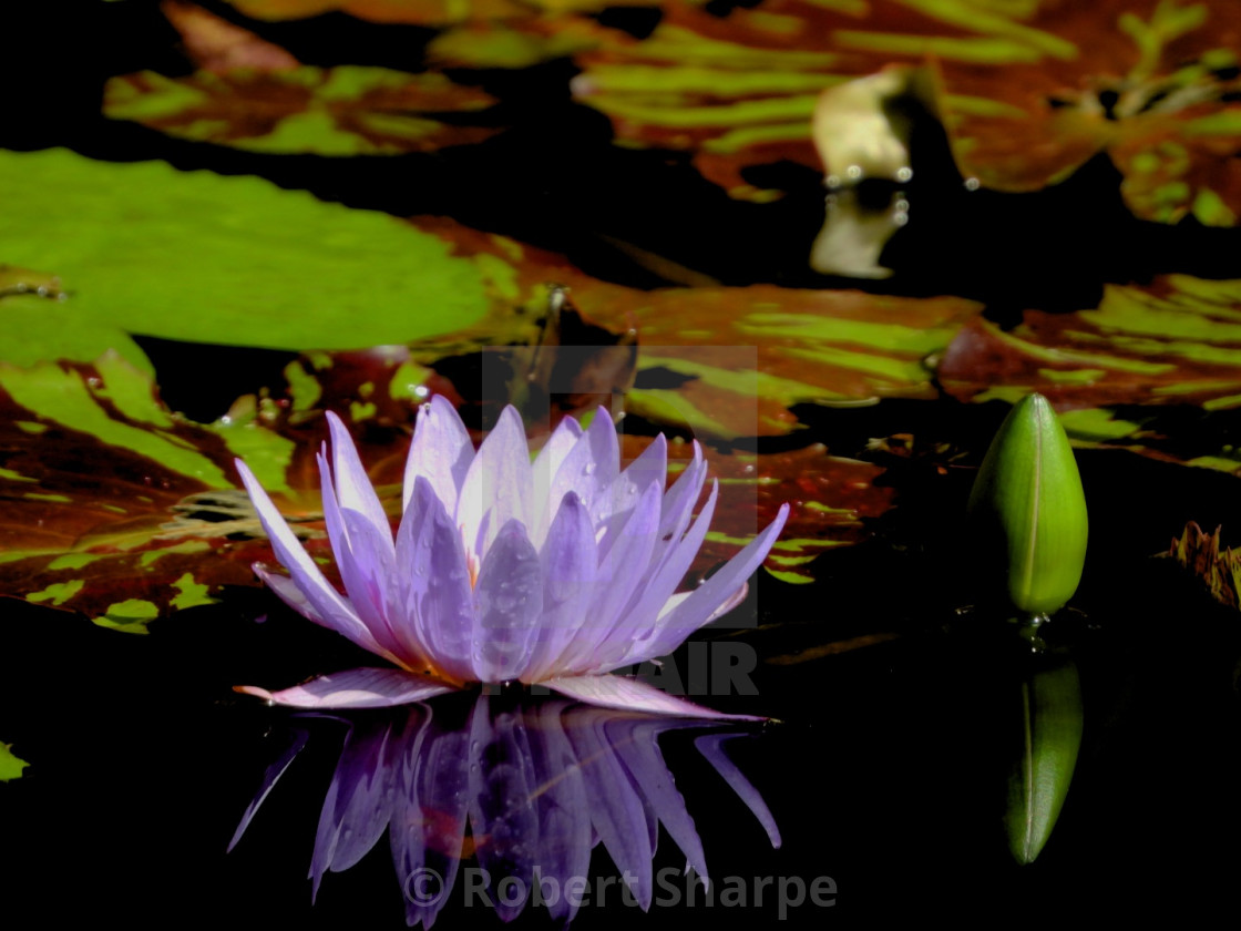 """""""Purple Waterlily and Bud"""" stock image"""