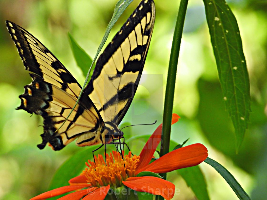 """Yellow Swallowtail Butterfly on Orange Flower"" stock image"