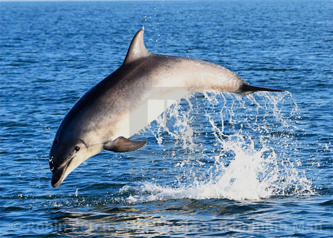 """""""Bottlenose Dolphin leaps in Cardigan Bay"""" stock image"""
