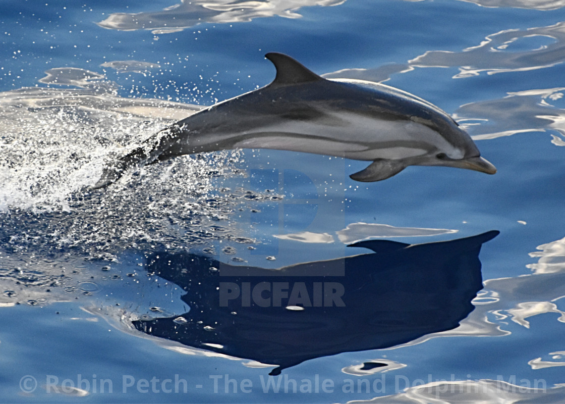 """A Striped Dolphin breaching"" stock image"