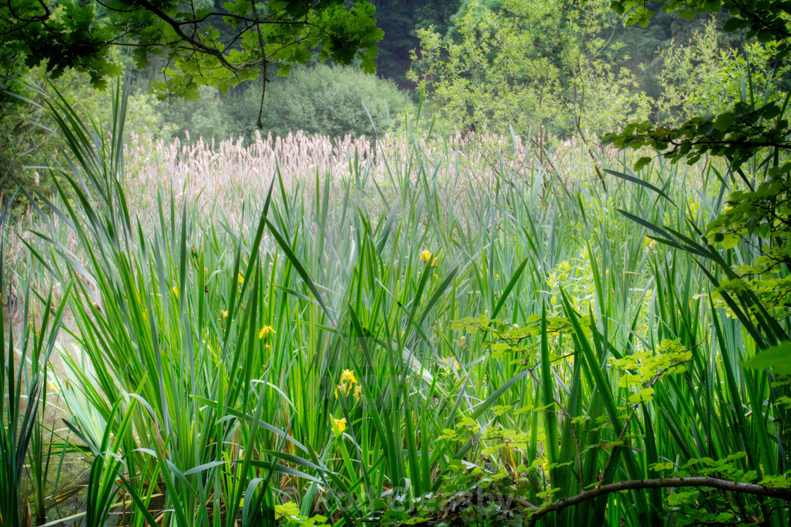 """""""Secret Lake. Bullrush and reeds. A corner of England that is forever my own."""" stock image"""