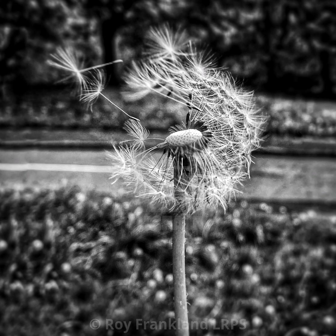 """Dandelion in the wind"" stock image"