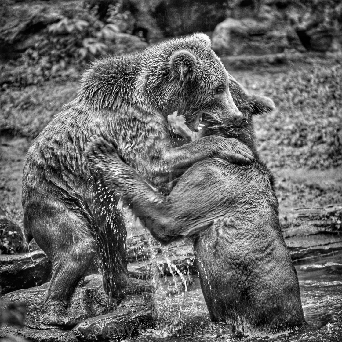 """Brown bears fighting, mono"" stock image"