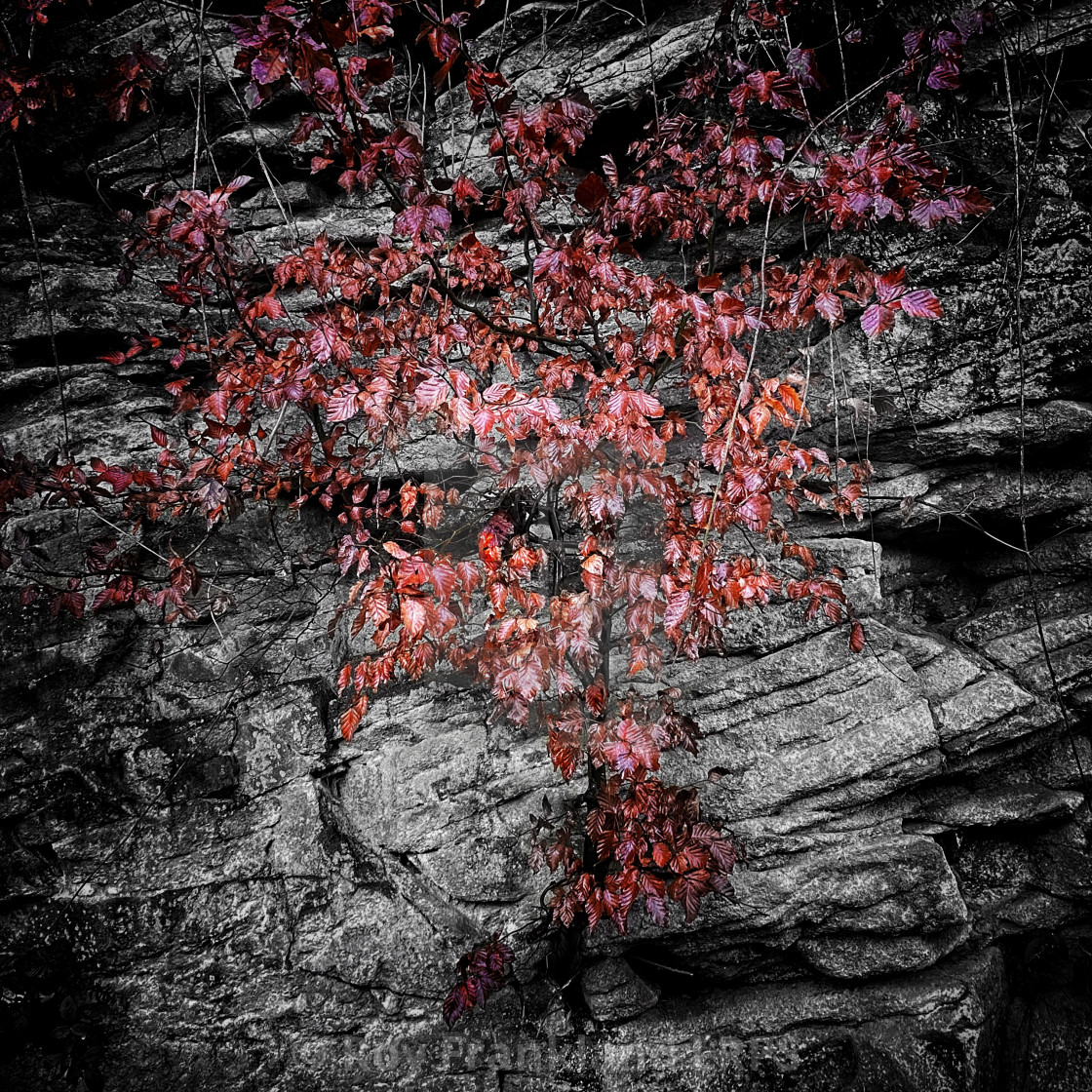 """Red leaves and rocks"" stock image"