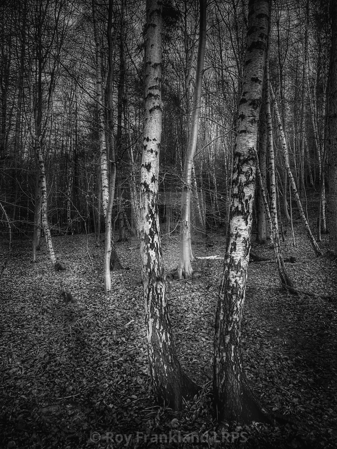 """Silver birch trees"" stock image"