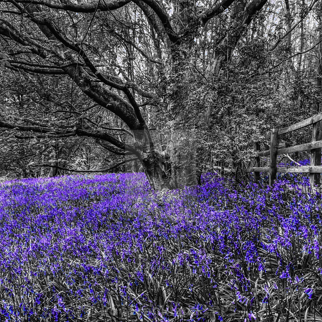 """""""Bluebell woods, selective colouring"""" stock image"""