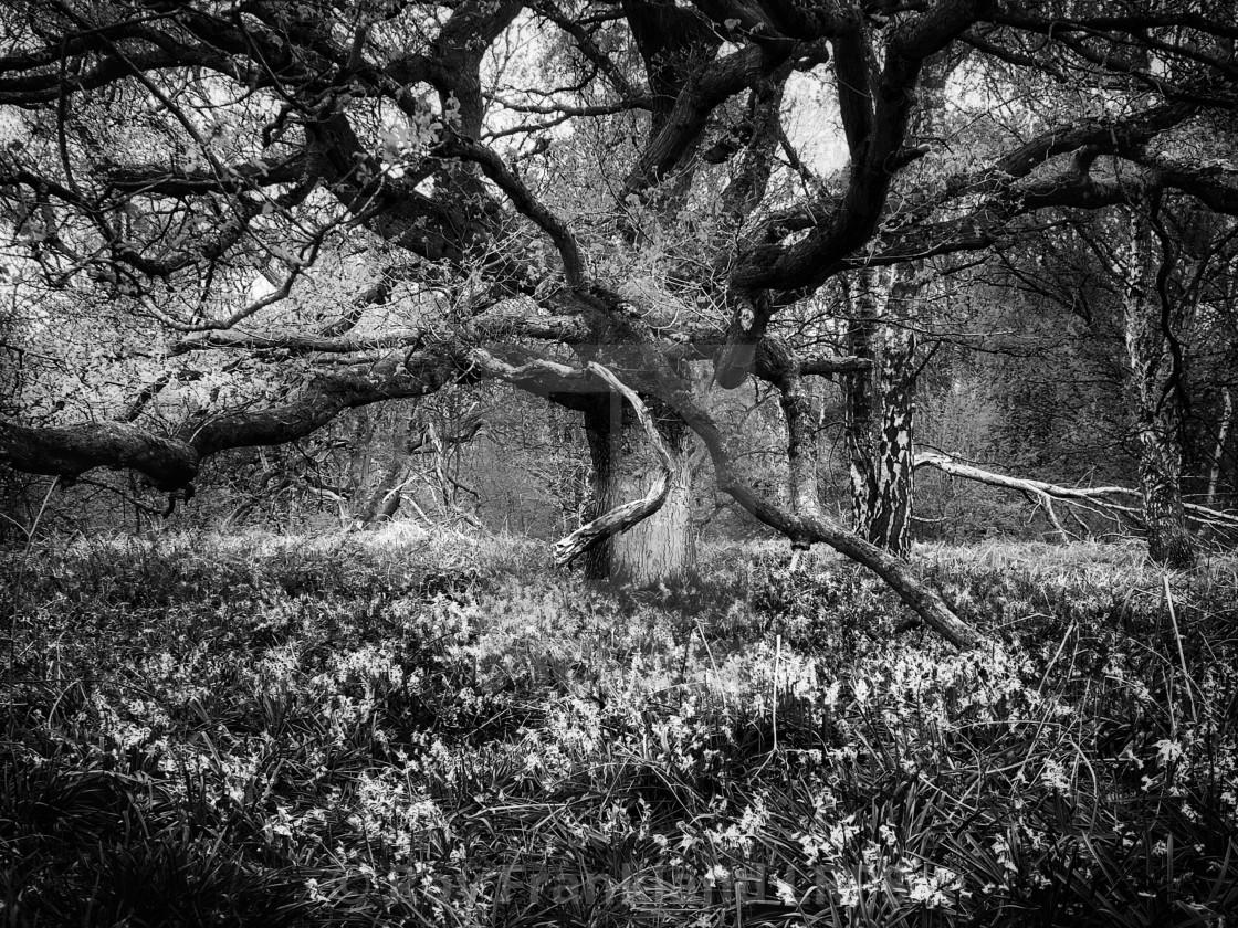 """Bluebell woods, mono"" stock image"