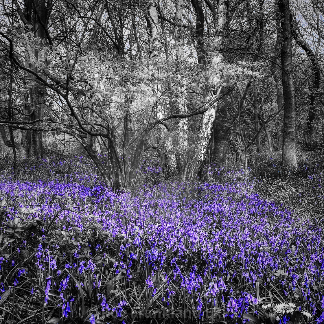 """""""Bluebell woods, selective colouring 2"""" stock image"""