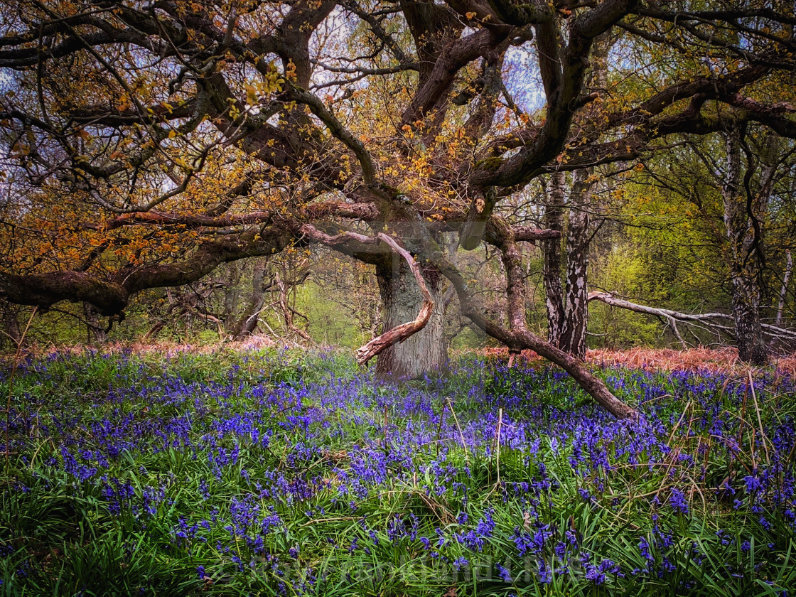 """""""Bluebell woods and twisted tree"""" stock image"""