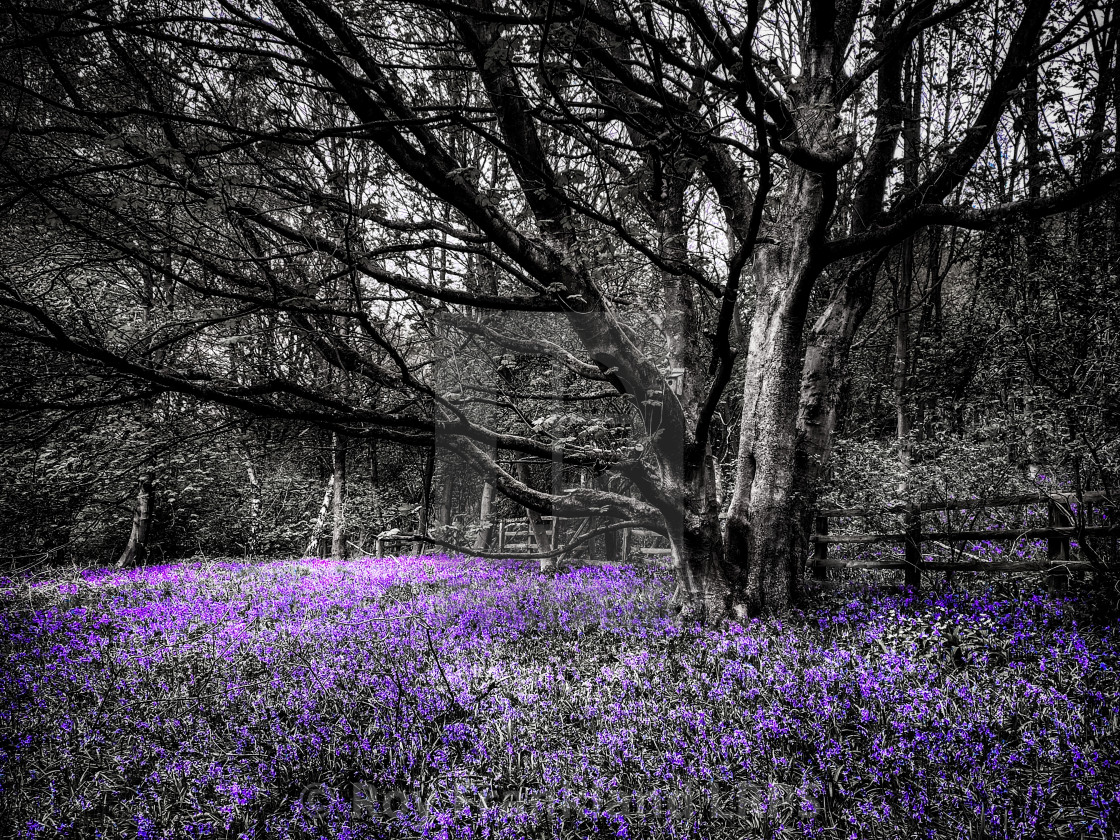 """""""Bluebell woods, selective colouring 6"""" stock image"""