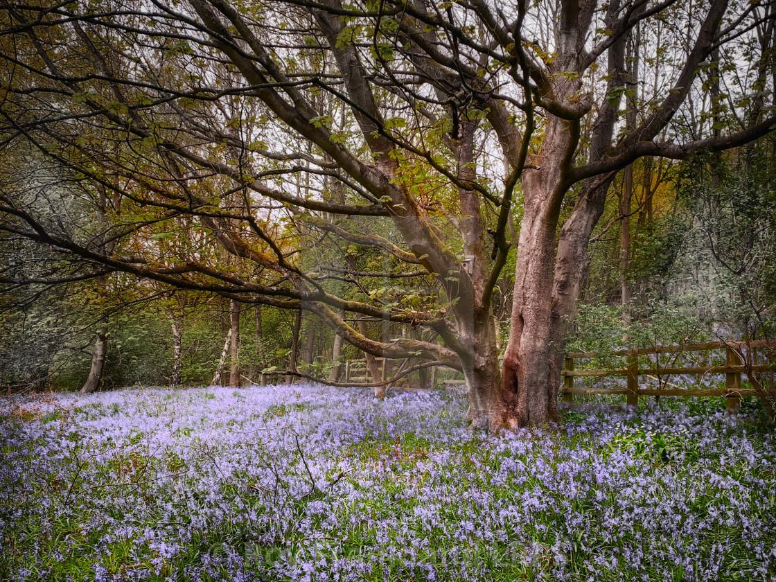 """""""Bluebell woods, alternate colour"""" stock image"""