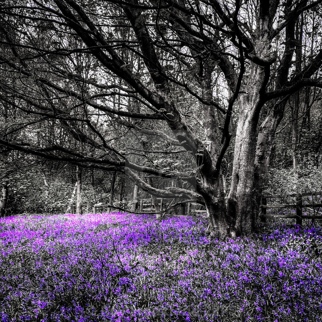 """""""Bluebell woods, selective colouring 3"""" stock image"""