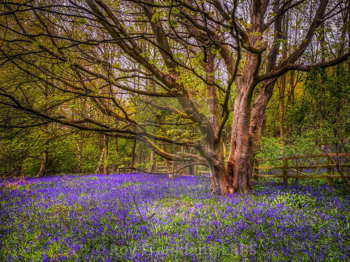 """Bluebell woods 3"" stock image"