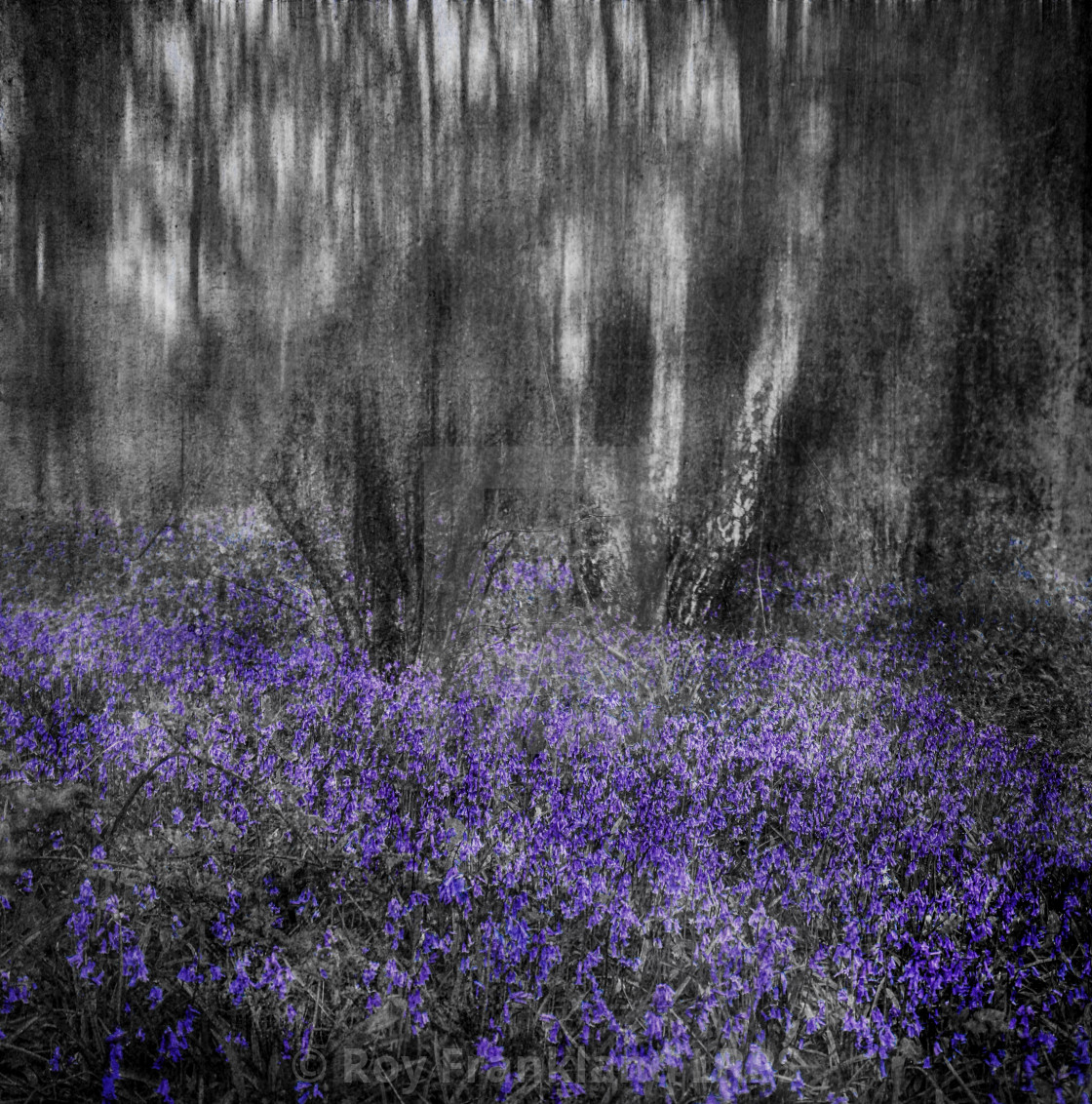 """""""Bluebell woods, selective colouring 4"""" stock image"""