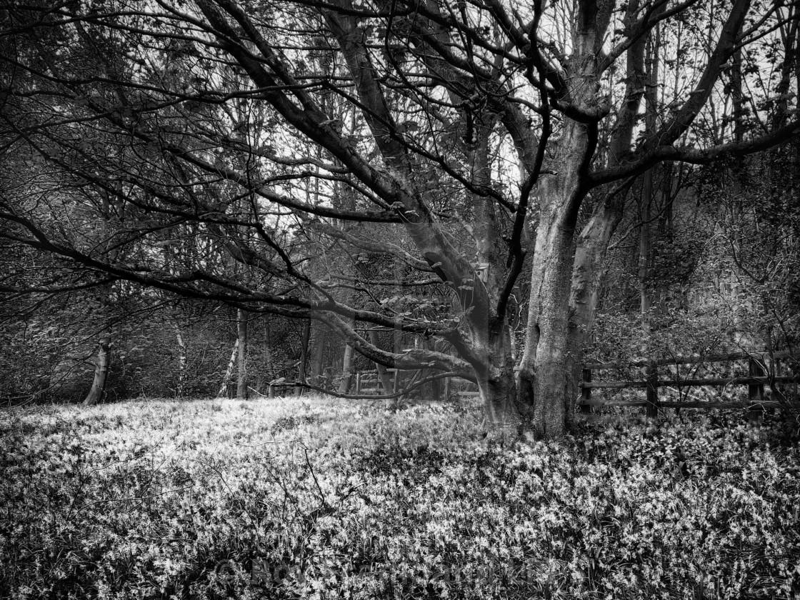 """Bluebell woods, mono 2"" stock image"