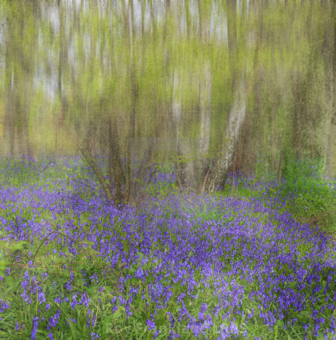"""Bluebell woods, impressionist"" stock image"