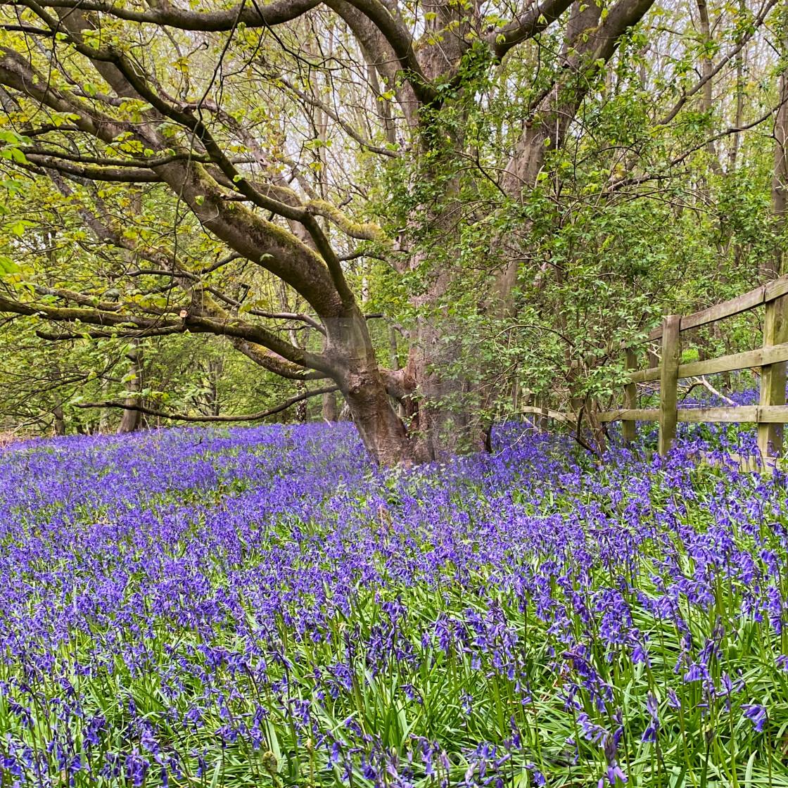 """Bluebell woods 2"" stock image"