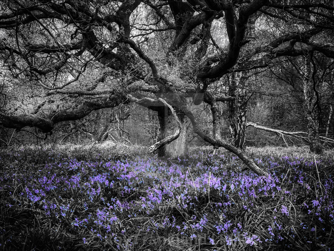 """""""Bluebell woods, selective colouring 5"""" stock image"""