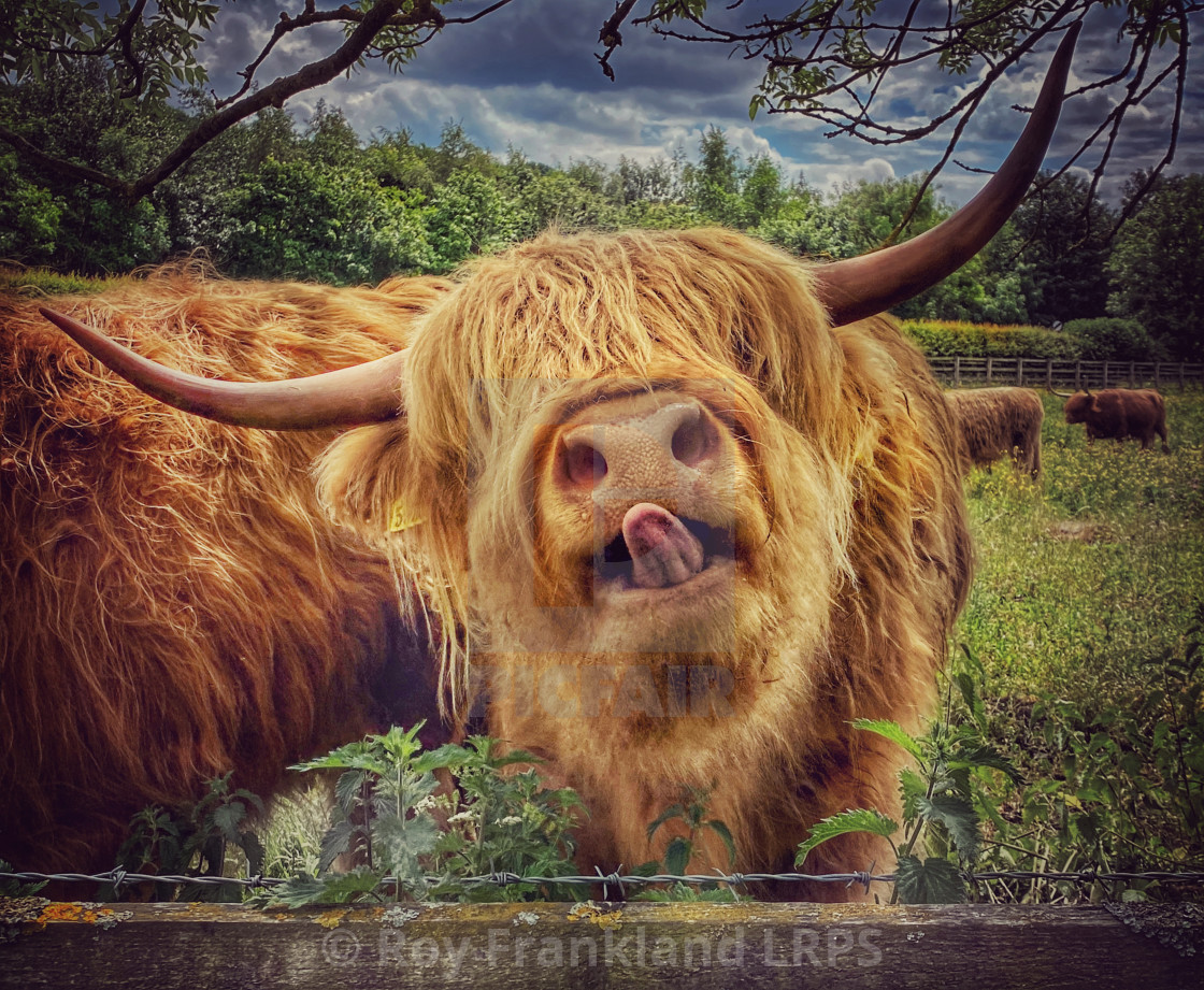 """""""Highland cow with tongue out"""" stock image"""