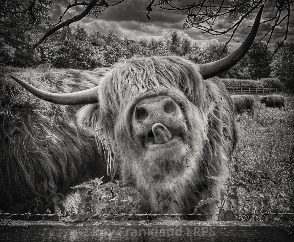 """""""Highland cow with tongue out, mono"""" stock image"""
