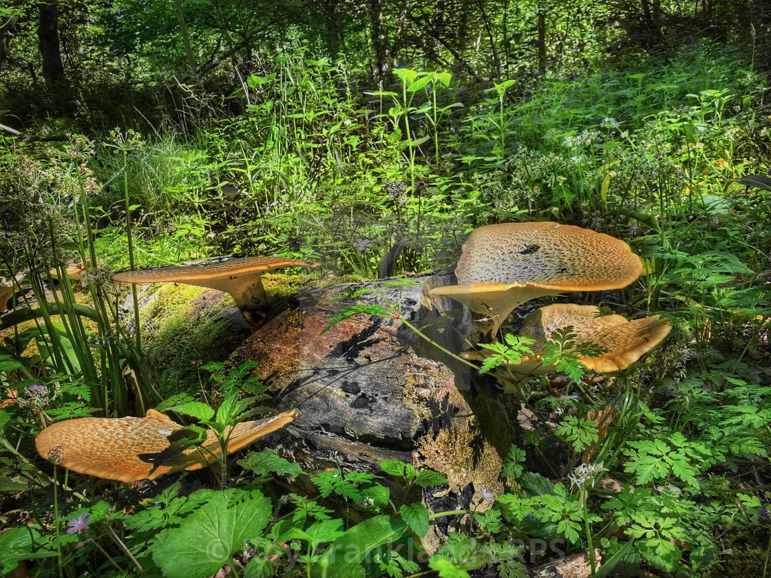 """""""Dryad's Saddle mushrooms"""" stock image"""